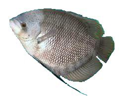 Raja Umpan Resep Mancing Ikan Gurami