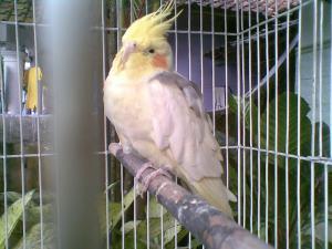 burung nuri autralia...