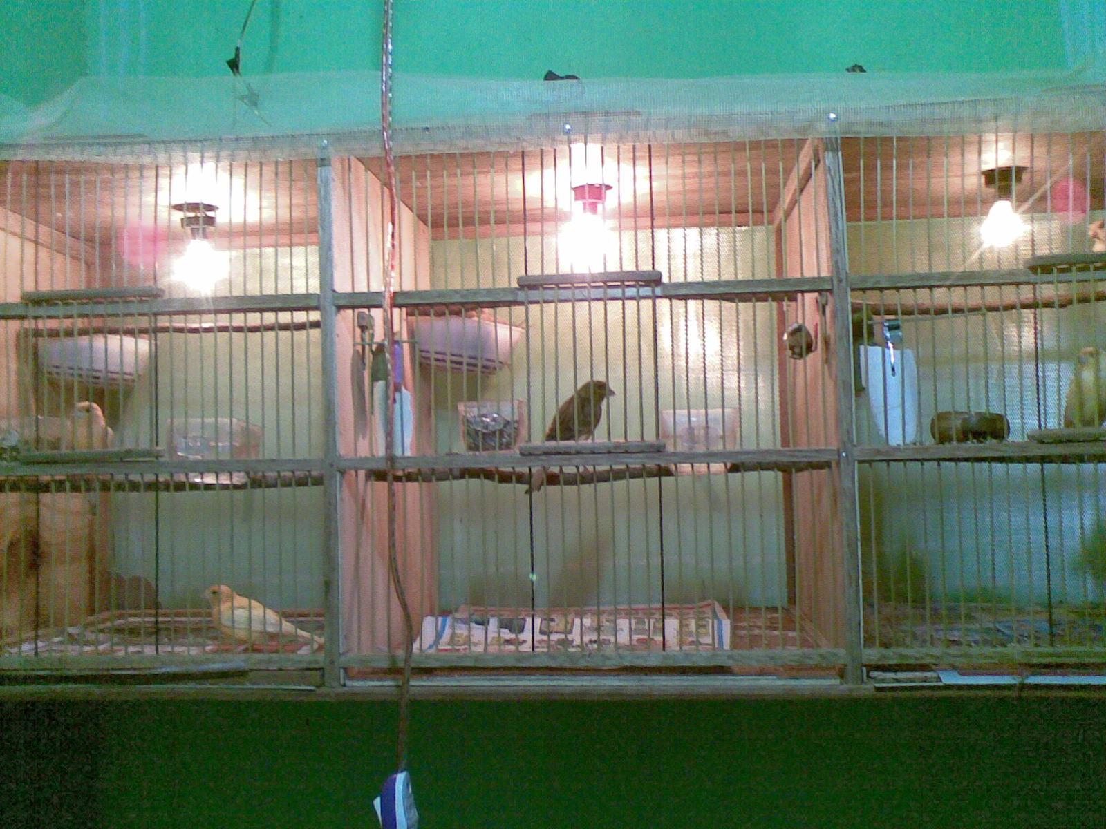 belajar ternak burung kenari (1/2 sukses)