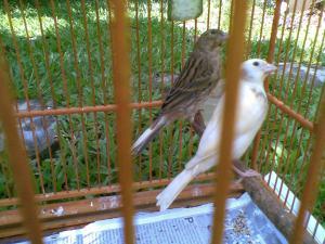 anak burung kenari